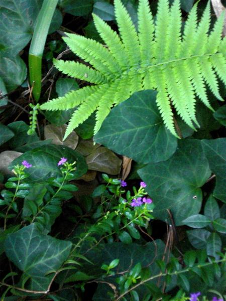 Ivy & fern 2