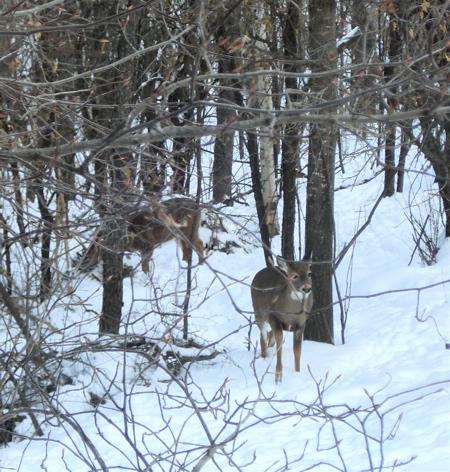 B deer