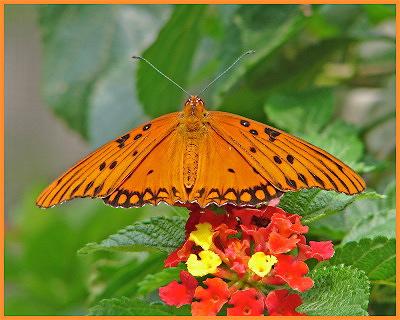 G1 butterfly